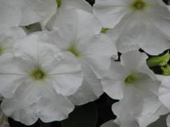 Flori la Cluj